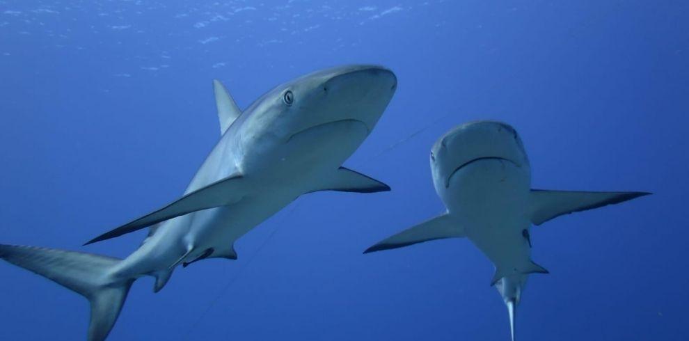 Bahamas tiburones