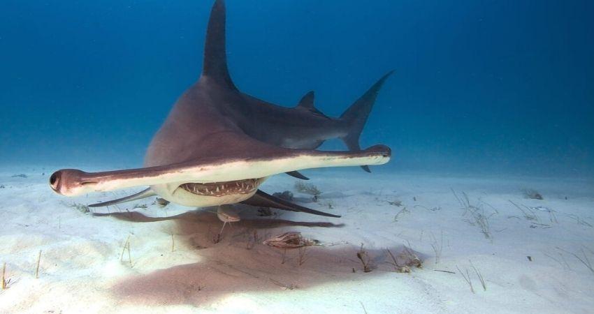 Buceo_isla_del_coco_tiburon_martillo_ki_travels
