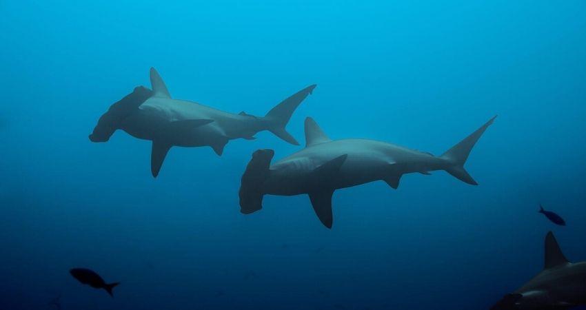 Isla_del_coco_Martillos_tiburones_ki_travels