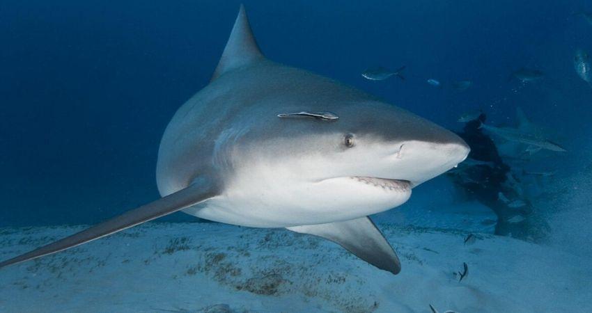 tiburon_isla_del_coco_ki_travels_viaje