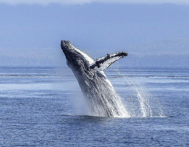 humpback-whale-630×630