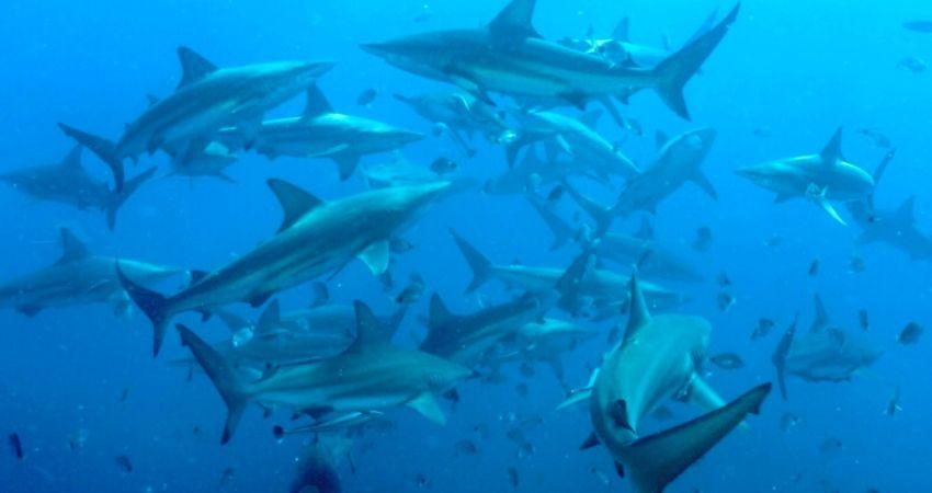 sardine_run_viaje_tiburones