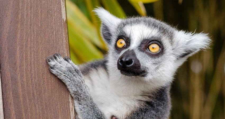 Madagascar_viaje_lemur
