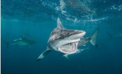 Viaje de buceo a sudafrica aliwal shoal