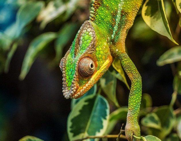 chameleon-630×630