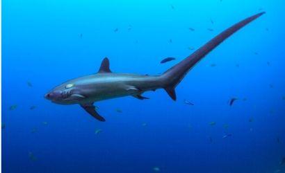 Buceo Malapascua tiburon zorro
