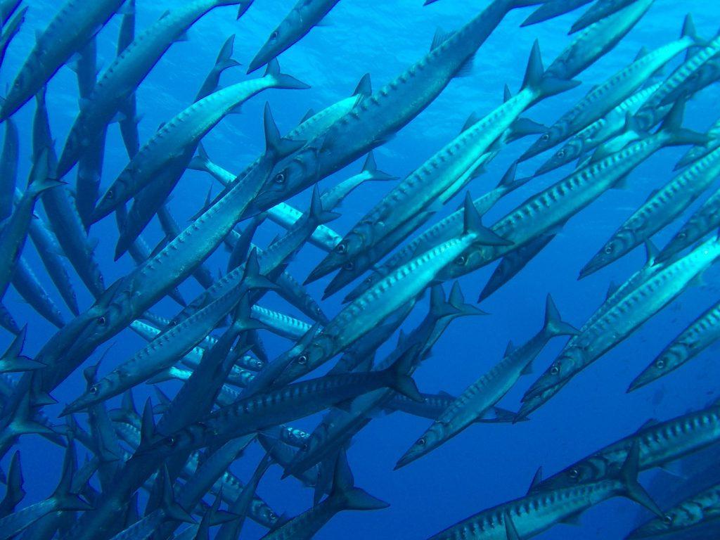 barracudas Tenerife viaje Ki Travels